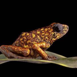 poison arrow frog Peru by Dirk Ercken