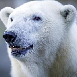 David Millenheft - Polar Bear