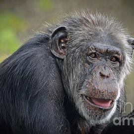 Jim Fitzpatrick - Portrait of an Elderly Chimpanzee Fade to Black