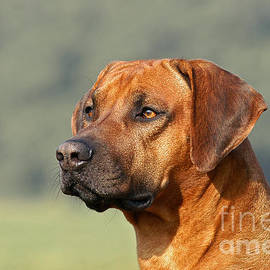 Portrait Rhodesian Ridgeback Dog by Dog Photos