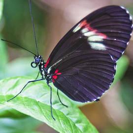 Maj Seda - Postman Butterfly Waiting