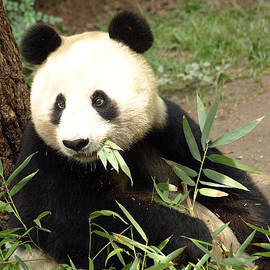 Jessica Foster - Single Panda Eating Bamboo