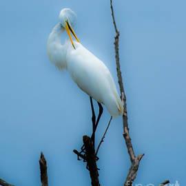 Ursula Lawrence - Preening Egret