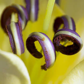 Dana Moyer - Pretty anthers within a Stargazer Lily