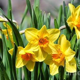 Pretty Daffodils by Carol Groenen