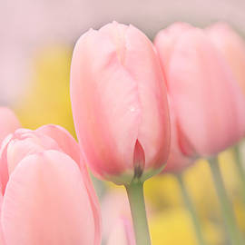 Pretty Pastel Pink Tulip Flowers by Jennie Marie Schell