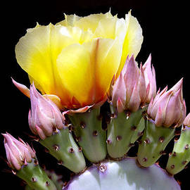 Prickly Pear Blossom And Buds by Douglas Taylor