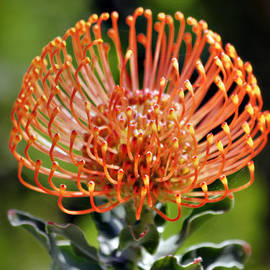 Christine Till - Protea - One of the Oldest Flowers on Earth