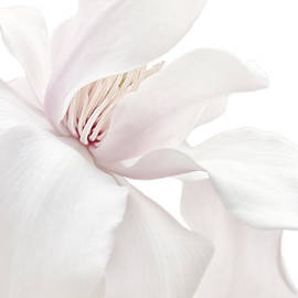 Jennie Marie Schell - Purity White Magnolia Flower Blossom