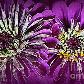 Purple Beauties - Zinnias by Dora Sofia Caputo
