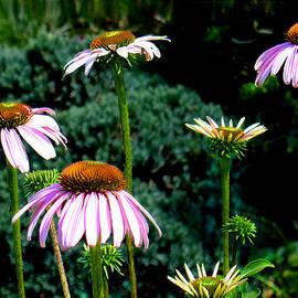 Steve Karol - Purple Cone Flowers