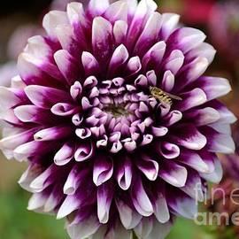 Purple Dahlia White Tips by Scott Lyons