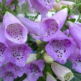Lingfai Leung - Purple Foxgloves