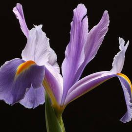 Juergen Roth - Purple Iris