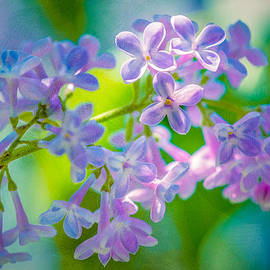 Purple Lilac Flowers by Alexander Senin