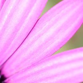 Purple Petals by Shoal Hollingsworth