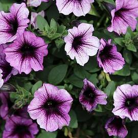 Purple Petunias by Cynthia Guinn