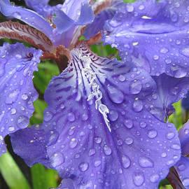 Brooks Garten Hauschild - Purple Rain - Iris - Macro