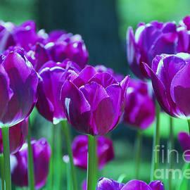 Allen Beatty - Purple Tulips