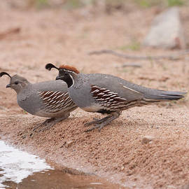Ruth Jolly - Quail Couple