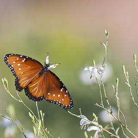 Queen butterfly  in morning light by Ruth Jolly