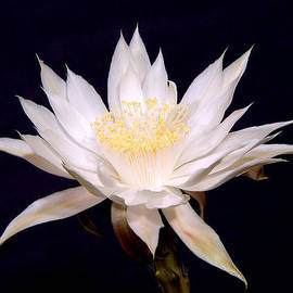 Queen Of The Night - Peniocereus Greggii by Douglas Taylor