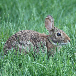 Rabbit Hiding In The Grass by John Telfer