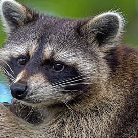 Raccoon by Jerry Gammon