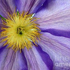 Light Purple Clematis- A  close up by Dora Sofia Caputo