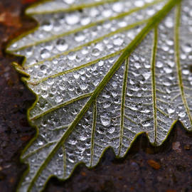 Steve Stephenson - Rain Drops on Silver Leaf