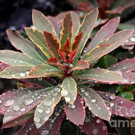 Reid Callaway - Rain Drops Red Tip Flowers Art