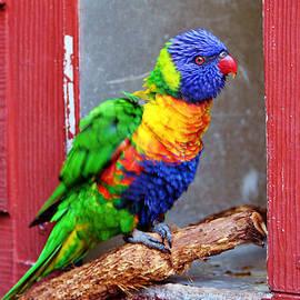 Cynthia Guinn - Rainbow Lory