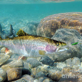 Rainbow Trout and Green Ghost wet fly