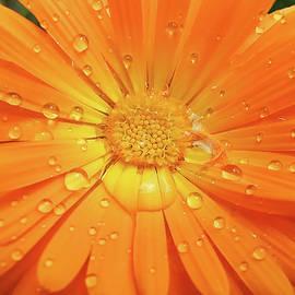 Raindrops on Orange Daisy Flower