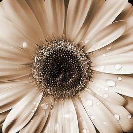 Jennie Marie Schell - Raindrops on Gerber Daisy Sepia