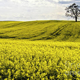 Rape landscape with lonely tree by Heiko Koehrer-Wagner