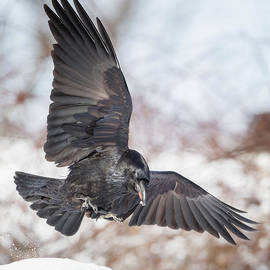 Raven In Flight Square by Bill Wakeley