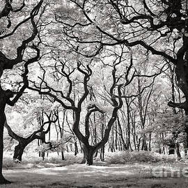 Ron Evans - Cannock Chase Ancient Oaks