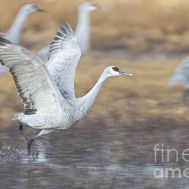 Cranes ready to leave by Ruth Jolly