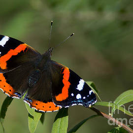 Red Admiral Butterfly  by Torbjorn Swenelius