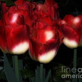 Kathleen Struckle - Red And White Tulips