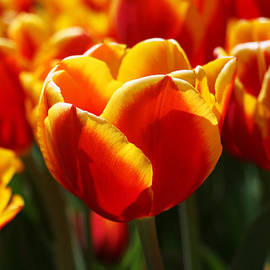 Allen Beatty - Red and Yellow Triumph Type Tulip