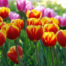 Allen Beatty - Red and Yellow Tulips