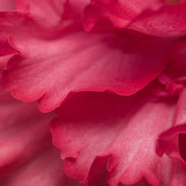 Red Begonia Petals by Priya Ghose