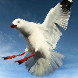 Red Billed Seagull  by Amanda Stadther