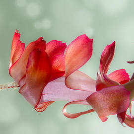 Red Christmas Cactus Bloom by Patti Deters