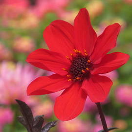 Red Dahlia With Pink by Alfred Ng