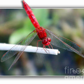 Red Dragonfly by Mariarosa Rockefeller