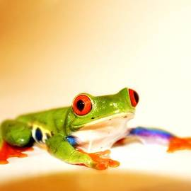 Alanna DPhoto - Red Eye Frog