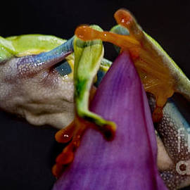 Bob Christopher - Red Eyed Tree Frog